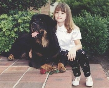 A black with tan Tibetan Mastiff is laying at the top of a brick step and to the right of it is a blonde haired girl sitting on the staircase.