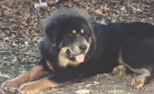 The front left side of a black with tan Tibetan Mastiff that is laying across a dirt surface and it is looking to the right. Its mouht is open and its tongue is sticking out.