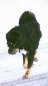 A black with tan and white Tibetan Mastiff is walking across a snowy surface and it is looking down at the snow.