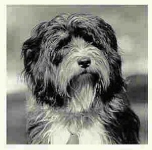 Close up front view - A shaggy looking, black and white photo of a Tibetan Terrier that is sitting down looking to the right.