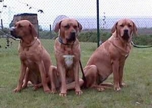 Three Tosas are sitting in a field and there is a chainlink fence behind them. The extra large dogs are lined up in a row.