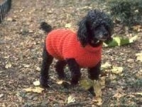 The front right side of a black Toy Poodle that is wearing a red sweater and it is walking across the ground that has fallen leaves on it.