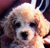 Close up head shot - An apricot Toy Poodle is sitting in a persons lap and it is looking forward. It has a dark nose and dark round eyes.