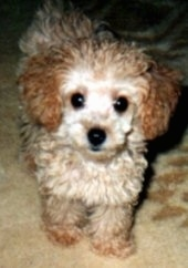 Close up - A small, wavy coated, tan with brown Toy Poodle dog standing on a rug and it is looking forward. It has a black nose and wide round black eyes.