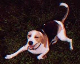 A white, brown and black Treeing Walker Coonhound dog is play bowing in a field looking to the left, its mouth is open and it looks like it is smiling.