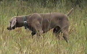 The left side of a Weimaraner that is searching through grass. Its tail is up and its head is down.