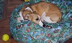A Whippet dog curled up in a ball on top of a green dog bed. There is a yellow tennis ball next to it on the hardwood floor.