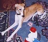 Top down view of a tan with white Whippet that is laying across a rug and it is looking at a popper push toy. The dog has long front legs and a skinny snout.