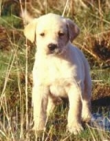 A yellow Labrador Retriever puppy is standing in grass and there is a small amount of water around it.