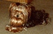 The left side of a long coated, black and golden brown Yorkie is laying across a carpeted floor.