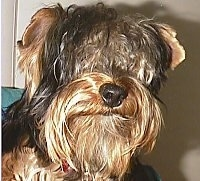 Close up head shot - A black and brown Yorkie dog with long-hair is looking forward. The hair on its head is covering up its eyes like a sheepdog. It has a large black nose and small ears that fold to the sides.