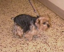 The right side of a black and brown Yorkshire Terrier that is standing across a floor. It has a docked tail and a black nose.