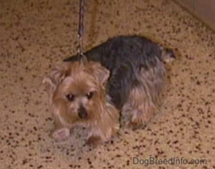 A black and brown Yorkie is standing on a brown spotted floor looking forward. It has small triangular ears that hang down to the front and a small docked tail.