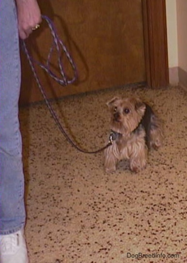 A brown and black Yorkie is standing in the back of a room towards a wooden door. It is looking forward at a person holding its leash. The dog has small triangular ears that fold forward at the tips, wide round eyes and a black nose. The hair around its face is cut.