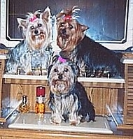 Three Yorkies are sitting on a dresser and they are all looking forward.