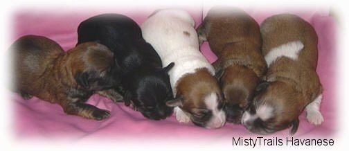 Five newborn puppies are laying down on a pink blanket.