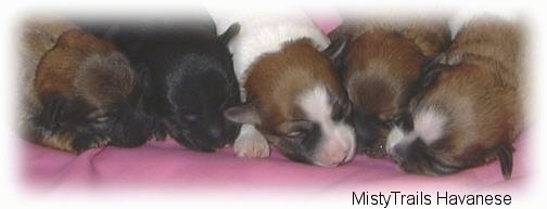 Close up - Five small puppies are sleeping on top of a pink blanket.