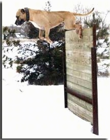 Hallapino the Mastiff is kicking off of a wall 67 inches in the air. There is snow on the ground.