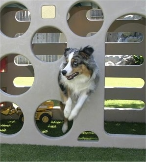 Jack the Australian Shepherd is in the hole of a toy sliding board structure