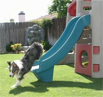 Jack the Australian Shepherd is getting off of a toy slide after sliding down