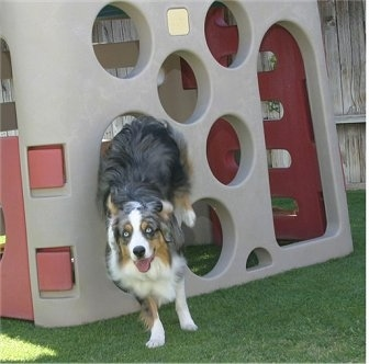 Jack the Australian Shepherd is jumping through a hole in the toy sliding board