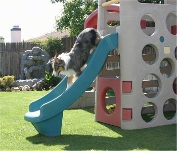 Jack the Australian Shepherd is at the top of a toy slide.