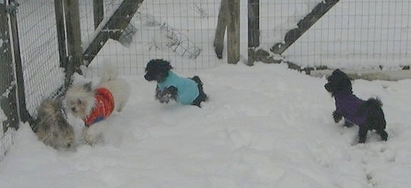 Four dogs in jackets are playing with each other in snow.
