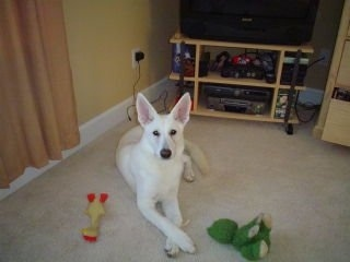 An American White Shepherd puppy is laying on a carpet with toys around it and it is looking up.