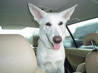 An American White Shepherd is sitting in a vehicle with its mouth open, tongue out and it is looking forward.