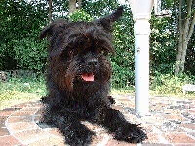 The front right side of a black Affenpinscher that is laying on brick faced patio table. Its mouth is open and its tongue is sticking out.