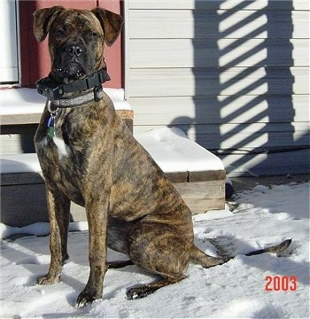 The left side of a brindle with white Alano Español that is sitting in snow in front of steps