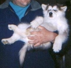 Alaskan Malamute Puppy being carried by a person