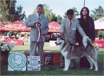 The left side of a black with white Alaskan Malamute that is standing across a grass yard and there are three people standing behind it.