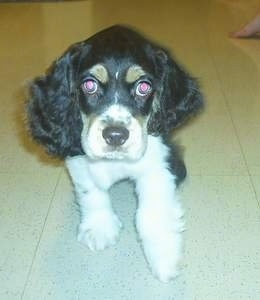 A tri-color American Cocker Spaniel Puppy is laying on a marble floor and it is looking forward.