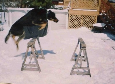 Nova the Dog is jumping over wooden horses in the snow