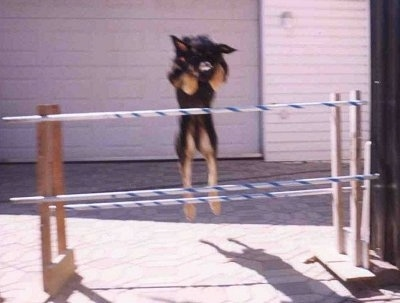 Nova the dog is jumping over an agility obstacle pole in front of a garage