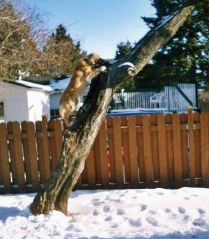 Nouka the Collie/Husky and Bernese Mountain Dog mix is climbing up a tree in a snowy yard with a brown fence behind it