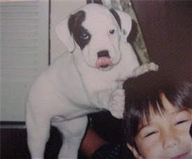The front right side of a white with black American Bulldog puppy that is standing up against the head of a person in front of it.