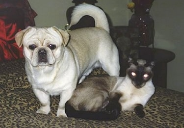 The front left side of a tan American Bullnese that is standing on a bed next to a Siamese cat