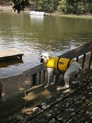 Cracker the American Bulldog is standing on a wooden deck in front of water and wearing a life vest.