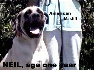A tan American Mastiff Dog is sitting next to a person in a blue shirt. Behind them is a bush and overlayed on the image are the words 'American Mastiff' and 'NEIL, age one year'