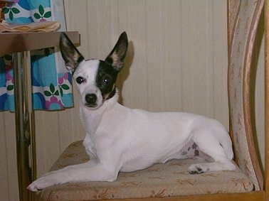 The left side of a white with black and tan Toy Fox Terrier dog laying across a chair and it is looking forward. It has a white body and half of its face is white and the other half is dark black and tan. Its nose is black, its dark eyes are round and it has large pointy perk ears.