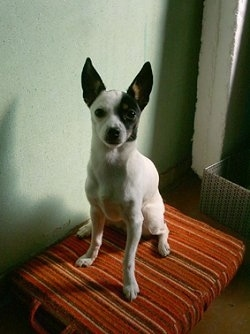 Front view - A white with black and tan Toy Fox Terrier is sitting on a firm pillow, it is looking up and forward. It has large pointy perk ears.