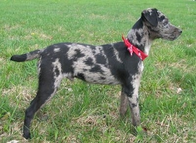 The right side of a black merle Atlas Terrier that is wearing a red bandana and it is standing across grass