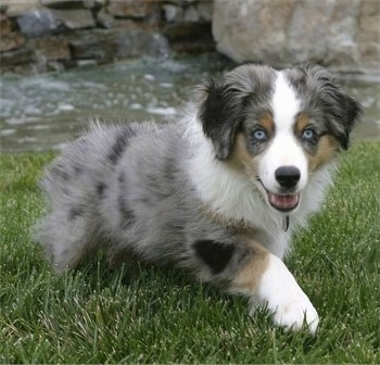The front right side of a merle Australian Shepherd puppy that is walking across grass with its mouth open and it is looking forward.
