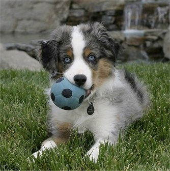 A merle Australian Shepherd is laying in grass, it has a blue and black ball in his mouth