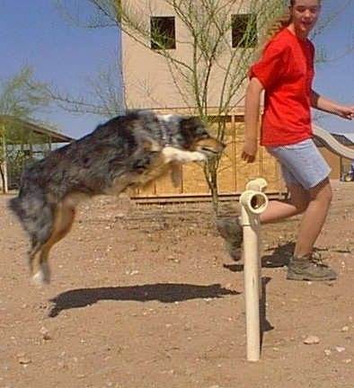 Shaylee the Australian Shepherd is jumping over an obstacle. There is a person running in front of shaylee