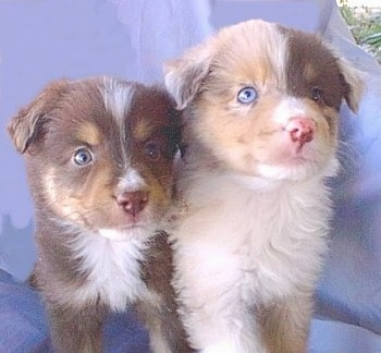Two Australian Shepherd puppies are sitting together, in front of a backdrop.