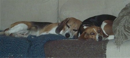 Rex and Bayley the Beagles sleeping on a couch