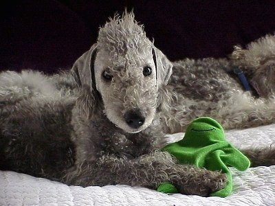 Bedlington Terrier Small Dog Breed Breeds Of Small Dogs